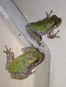 2 frogs